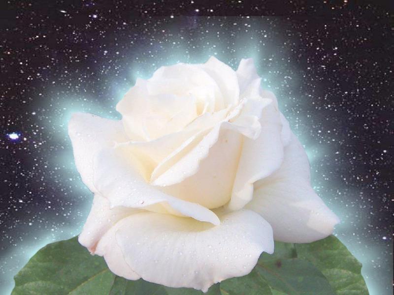 Graindesel nous a quittés Rose-blanche-3362e8